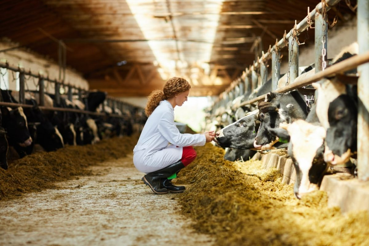 A woman attending a cow in a cow shed